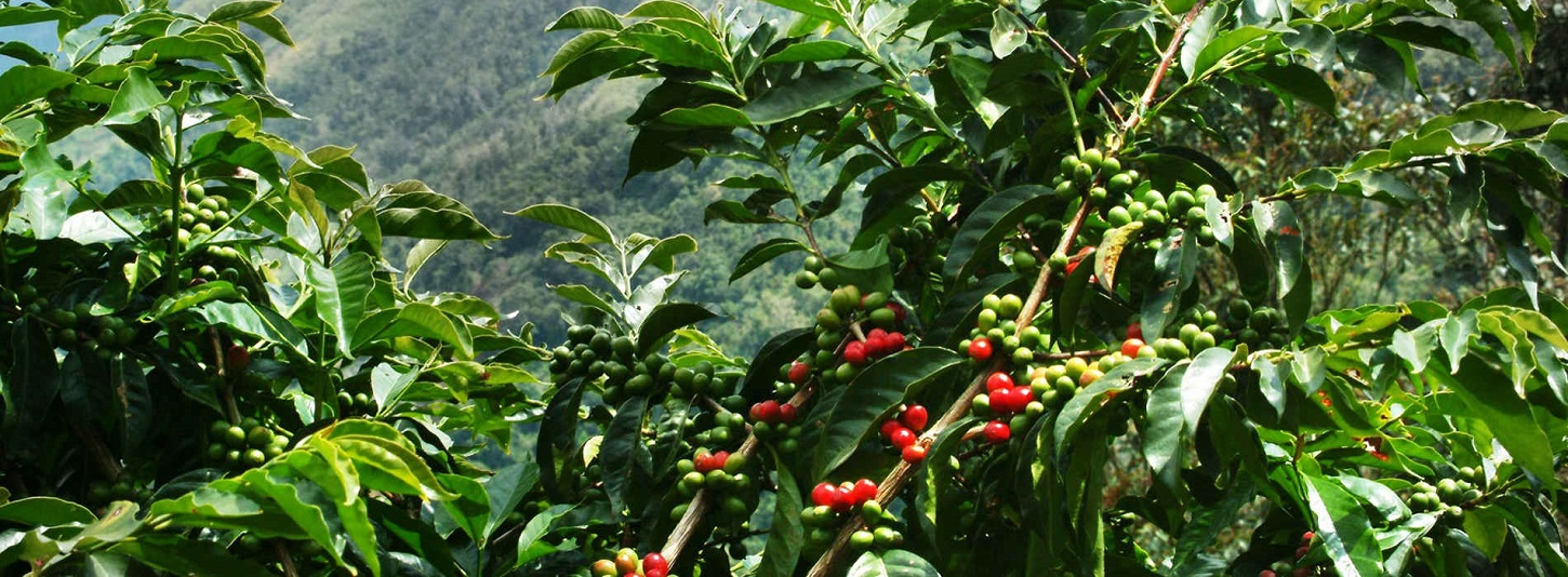 Ciao Coffee Plantation